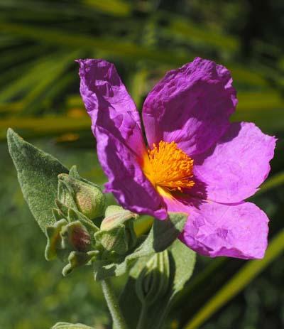 whitish-rock-rose-1117612_1920