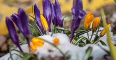 Na ratunek wiosennym kwiatom