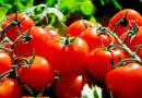 Dlaczego warto jeść pomidory?
